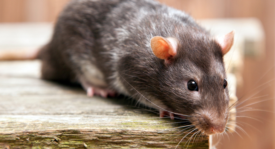 Killgerm Principles of Rodent Control